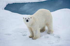 North Pole explorers are more likely to run into a polar bear than any other animal.