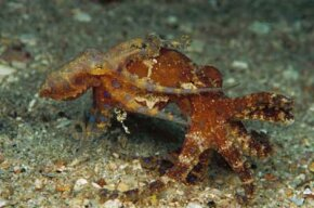 octopuses mating