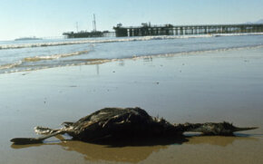 1969, the blowout of an offshore drilling platform in Santa Barbara, Calif. ultimately caused 200,000 gallons of crude oil to spread over 800 square miles (2,072 square kilometers) of ocean and shore.