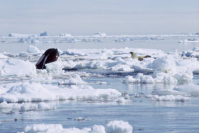 This ice floe may not save the seals for long. Orcas are known to force seals off of floating ice by creating waves or bumping against the ice itself.