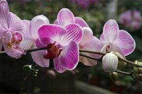 the Phalaenopsis or moth orchid