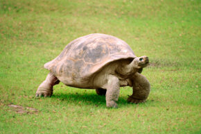 Phylogeny has yielded more precise taxonomy of animals, like the turtle.  After years of debate, genetic comparison found turtles to be more closely related to lizards than to birds and crocodiles.