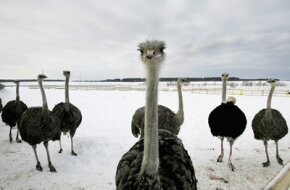 Ostriches are raised for their lean red meat. These ostriches are seen at a commercial farm.