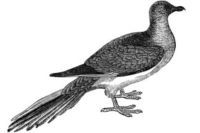 We had to use an illustration of a passenger pigeon, since they went extinct around 1900.