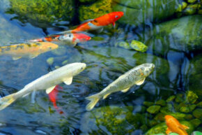 Enjoy the relaxing sound of the fountain and watch the fish swim by in your garden.