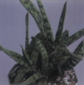 Oxtongue has thick, leaves covered with protuberances and spots. See more pictures of house plants.