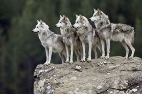 One for all and all for one. See more wolf pictures.