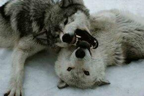 An alpha wolf displays dominance over an omega.