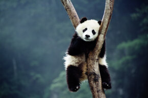 Pandas love sleep, but they don't hibernate. Instead they seek more comfortable altitudes. See more pictures of endangered animals.