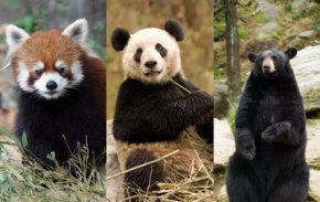 The giant panda shares characteristics with both the red panda and bears. As a result, scientists have argued on how to classify giant pandas.