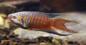 Paradise Fish -- Macropodus opercularis See more aquarium fish pictures.