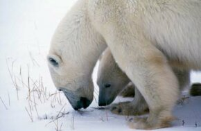 A polar bear's ecological niche is at the top of the food chain in the snowy Arctic.