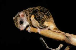 Flying squirrels evolved from a primitive rodent. They share the same basic characteristics with the flying phalanger.
