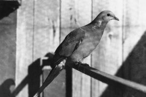 The last male passenger pigeon, shown here, died in 1912.