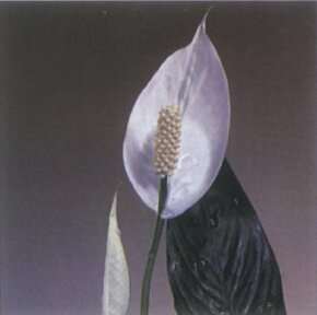 Peace lily has white leaves surrounding its flower clusters. See more pictures of house plants.