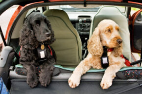 Harnesses are a great safety alternative to a dog running wild in your car. See more dog pictures.