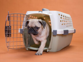 Dogs with short snouts -- like pugs -- can have trouble breathing in cargo holds if the temperature is too high.