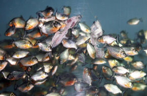 Piranhas kept at Sea World in Jakarta enjoy a feeding frenzy.