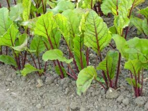 Whether growing from transplants or seeds, proper garden arrangement is crucial to a good yield.See more pictures of vegetable gardens.