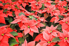 According to the National Capital Poison Center, the toxicity of poinsettias is a false belief made stronger each year at Christmastime.