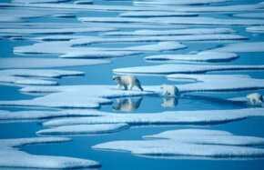 Polar bears are dying as Arctic ice melts. See more pictures of arctic animals.