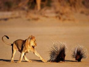 Even lions know to watch out for porcupine quills.