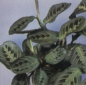 Prayer plant's colorful leaves fold up at night. See more pictures of house plants.
