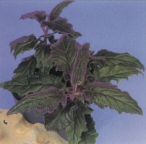 Like other vines, purple passion vine is perfect for hanging baskets. See more pictures of house plants.