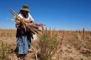 A woman harvests quinoa plants on a field in Bolivia.