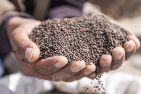 Considered a South American ancient grain, quinoa is actually a seed.