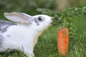 Good ol' Bugs Bunny really got one over on us. Turns out carrots are not the food of choice for nonfictional rabbits.