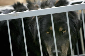 A caged Tibetan mastiff in Beijing awaits inoculation.
