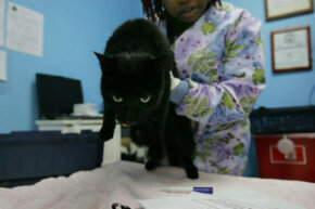 A cat gets a rabies vaccination at the Staten Island's Animal Care and Control Shelter February 2007 in Staten Island, New York.