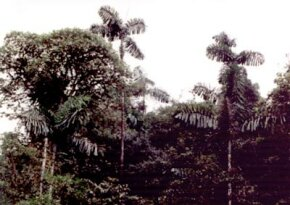 These trees have grown just above the rainforest's canopy. See more pictures of trees.