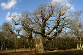 According to folklore, the venerable Major Oak in Sherwood Forest served as a hideout for Robin Hood and his band of merry men.