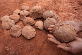 Let's crack one of these open and start building a dinosaur. Or not. A construction worker displays one of 22 dinosaur egg fossils found at a construction site in Nankang. The egg fossils had a diameter of 3.9-4.7 inches (10-12 centimeters). See more fossil pictures.