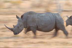 Is that rhino on its way to a fire?
