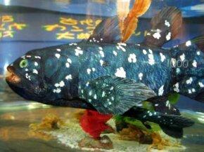 A robot fish swims in a tank at the Mitsubishi Minatomirai Industrial Museum July 30, 2002, in Yokohama, Japan.