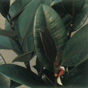 Rubber plant is characterized by its thick, leathery leaves. See more pictures of house plants.