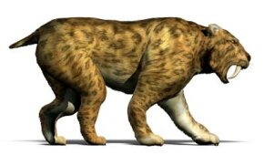 Smilodon fatalis, the saber-tooth cat: a little like a tiger and a little like a bear. See more pictures of big cats.