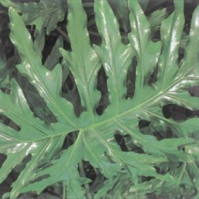 Saddle leaf philodendron has enormous, shiny green leaves. See more pictures of house plants.