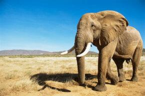 An elephant is seen at dawn at Samburu National Reserve in Kenya.