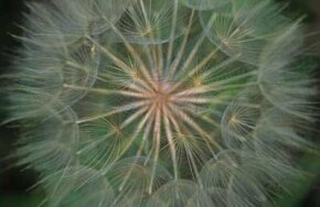 Salsify is related to the tenacious dandelion.