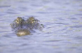 Alligators and other wildlife can often be spotted along the Creole Nature Trail.