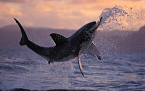 A great white shark leaps from the water off the coast of South Africa.