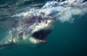 Great whites attack their prey with a mouthful of razor sharp, serrated triangular teeth.