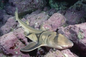 There's nothing wrong with this Port Jackson shark; it's just buccal breathing.