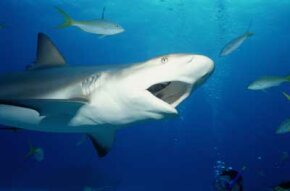 In general, sharks prefer to eat fish, squid and crustaceans. See more pictures of sharks.