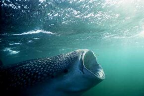 Meals made easy. A whale shark filter feeds with its mouth wide open.
