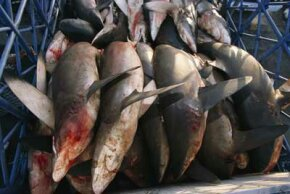 Sharks caught in the Arabian Sea at a market in Dubai, United Arab Emirates. The United States exported 4,160 tons of shark meat in 2007.